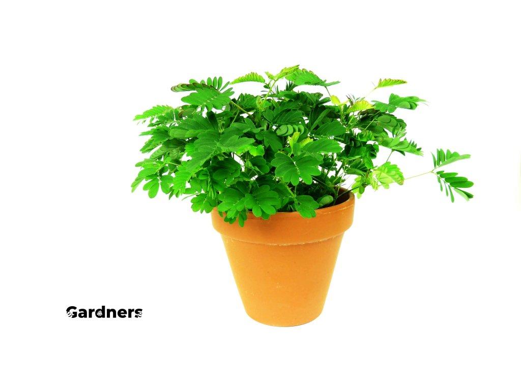 Gardners.cz Mimosa
