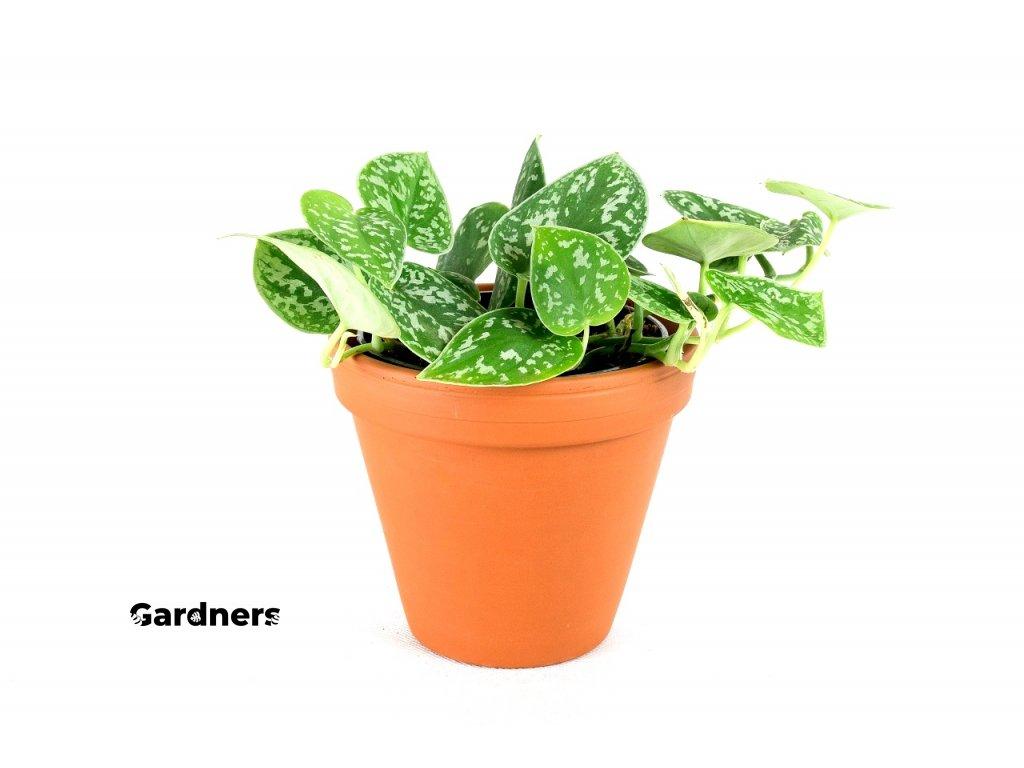 Gardners.cz Scindapsus pictus