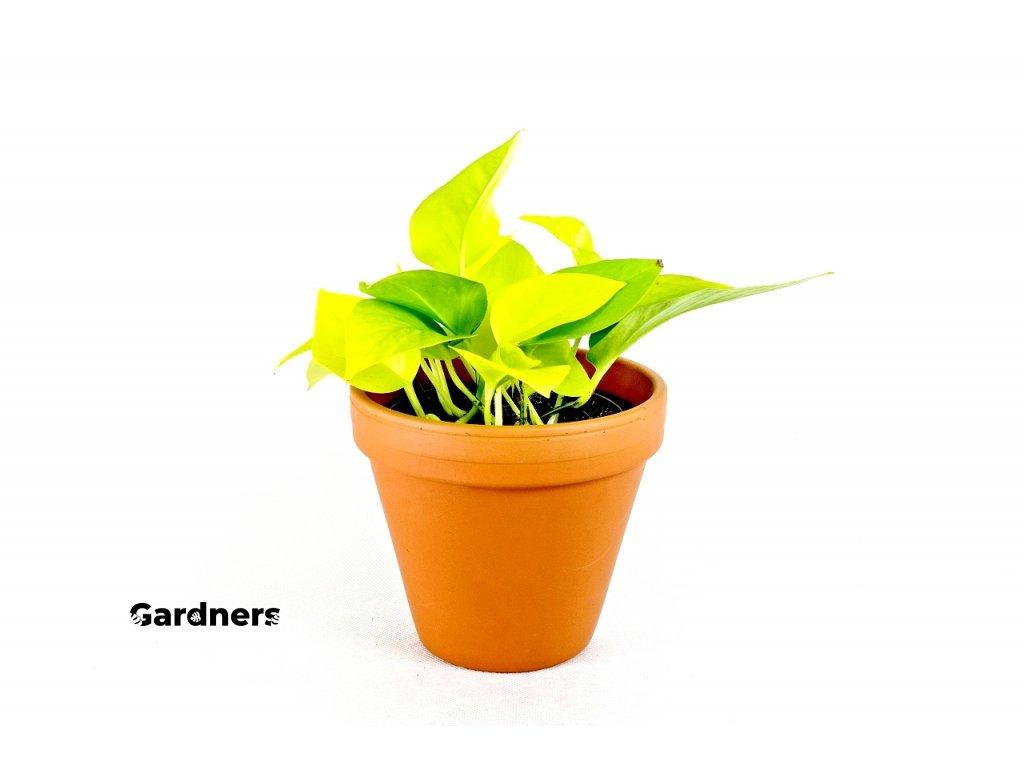 Gardners.cz Epipremum neon