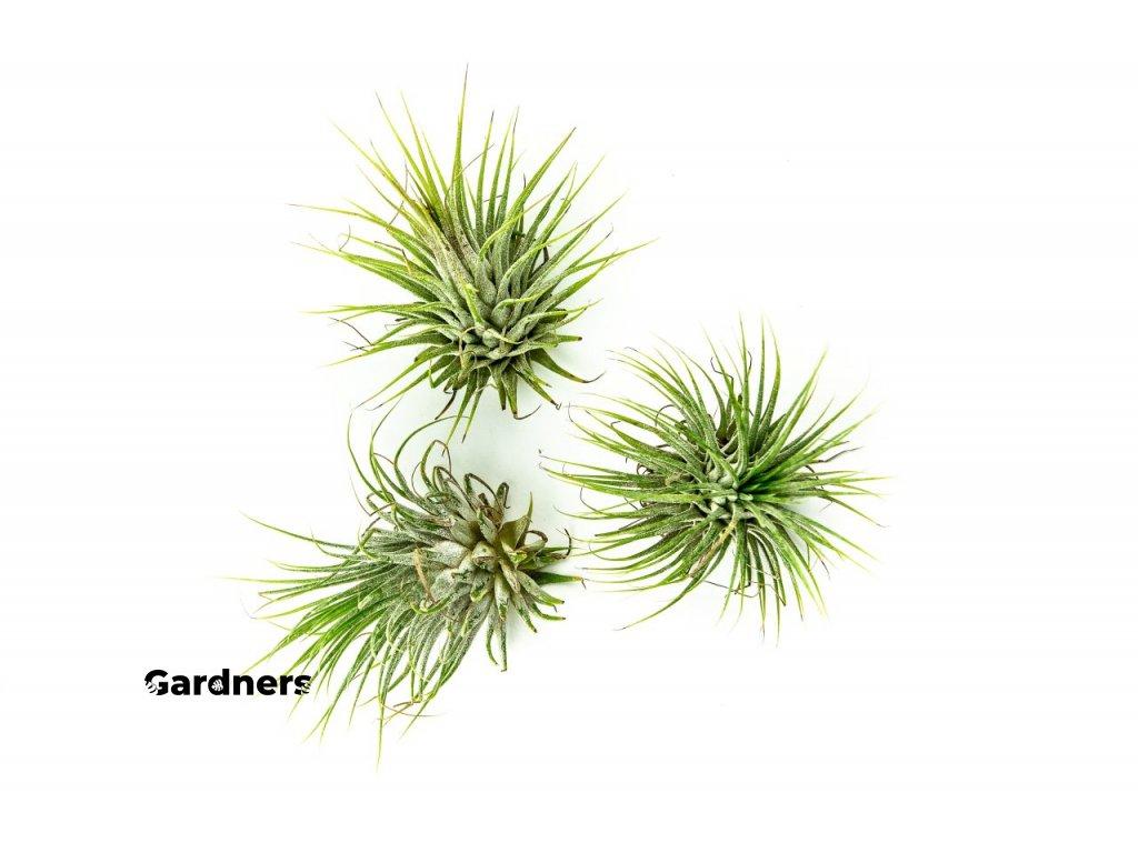 Gardners.cz Tillandsia ionantha