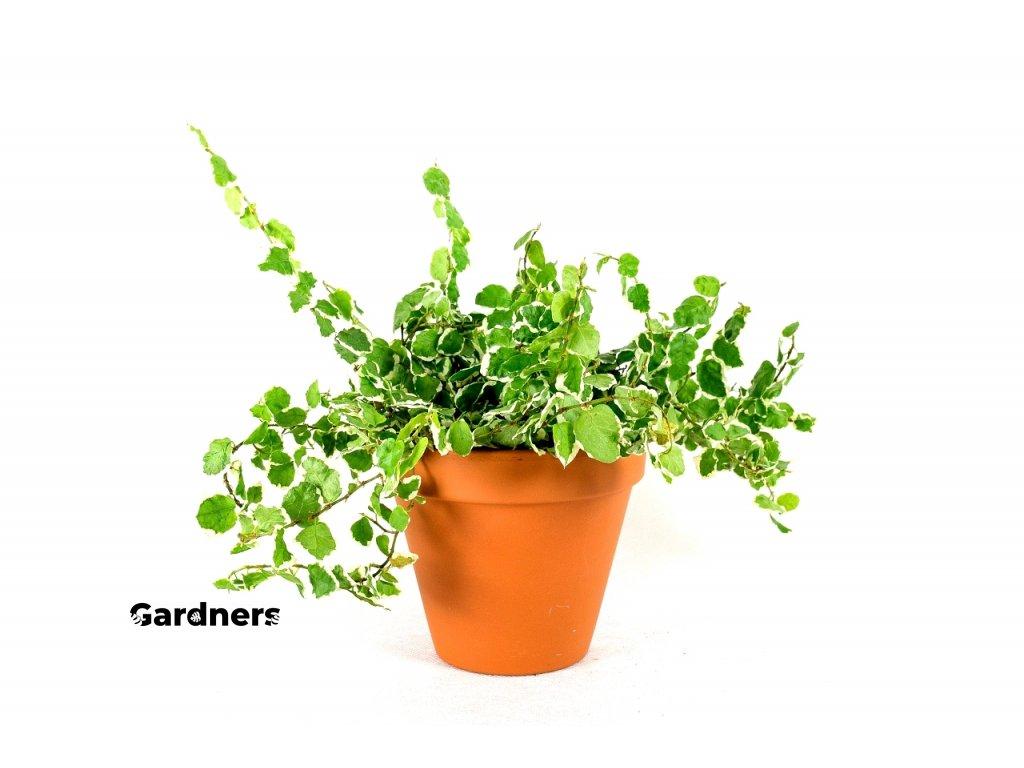 Gardners.cz Ficus pumila panasovana