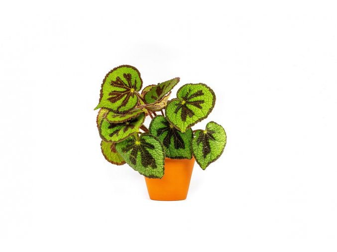 Gardners.cz Begonia masoniana rock, průměr 12 cm