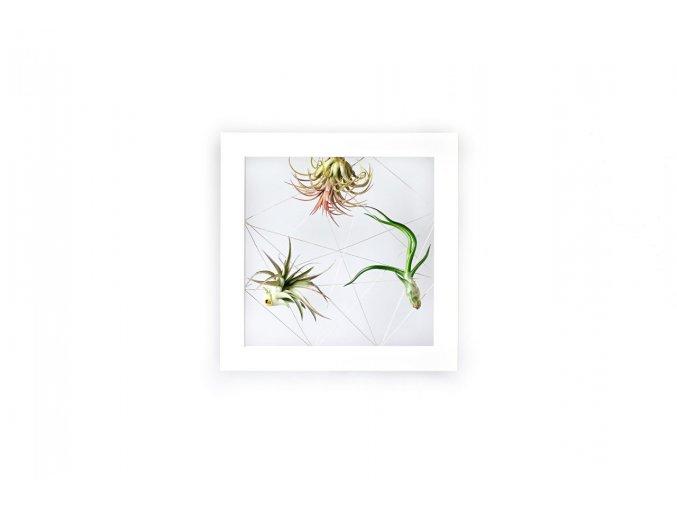 Gardners.cz Obraz z živých rostlin Jogín 3 tillandsie, 22x22cm, bílá