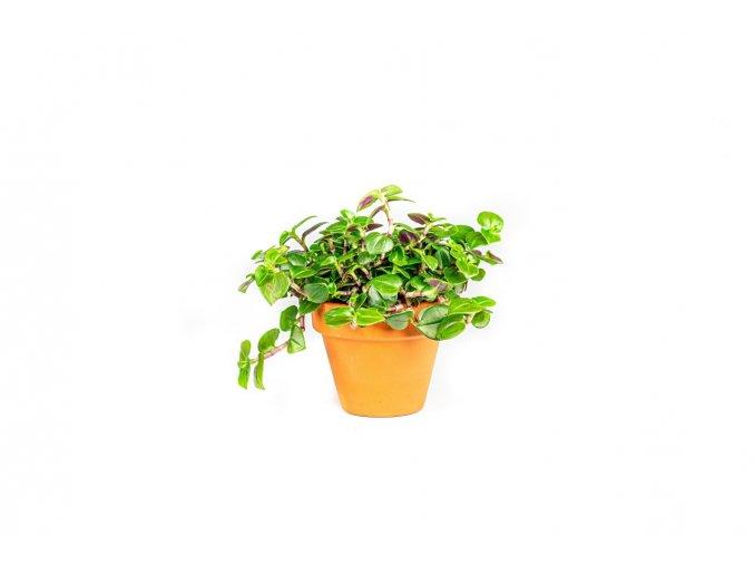 Gardners.cz Tradescantia green, průměr 6 7,5 cm