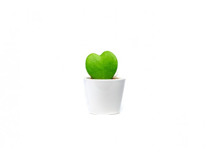 Gardners.cz Hoya kerrii s bílým květináčem, průměr 6 cm
