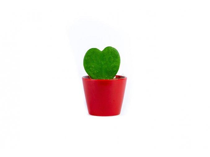 Gardners.cz Hoya kerrii s červeným květináčem, průměr 6 cm