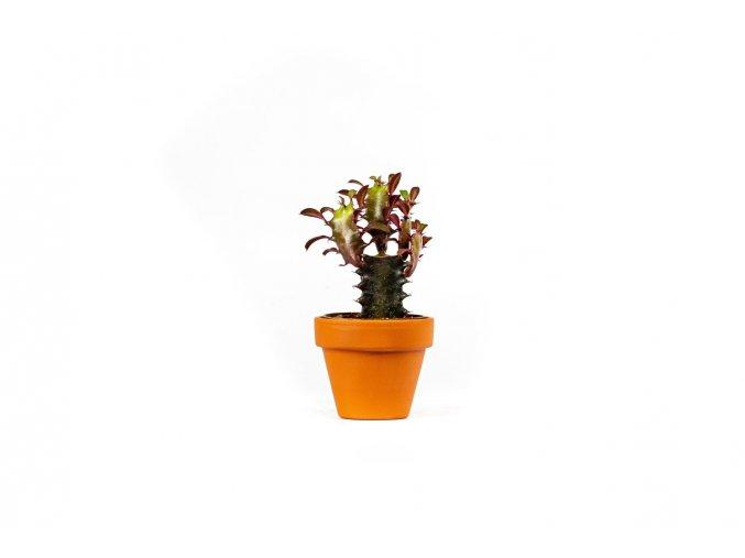 Gardners.cz Euphorbia trigona rubra 6 cm