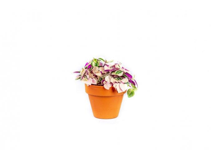 Gardners.cz Tradescantia albiflora RAINBOW, průměr 6 7,5 cm