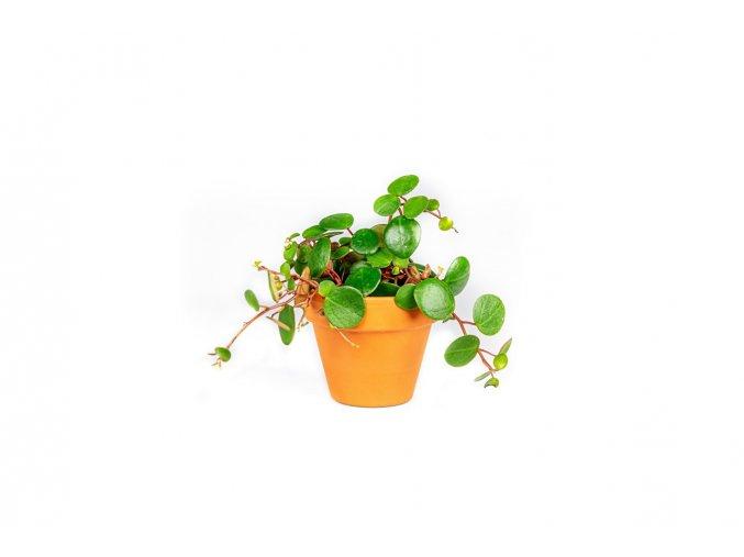 Gardners.cz Peperomia Pepperspot, průměr 6 cm