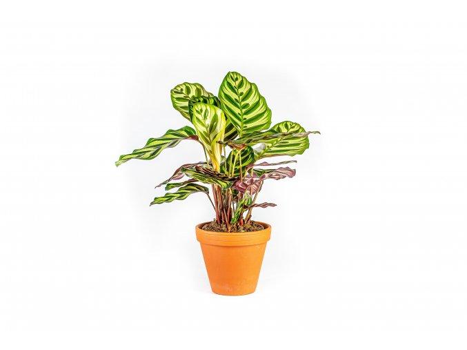 Gardners.cz Calathea makoyana, průměr 12 cm