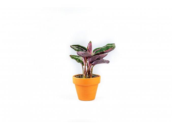 Gardners.cz Calathea roseopicta Dotie, průměr 6 cm