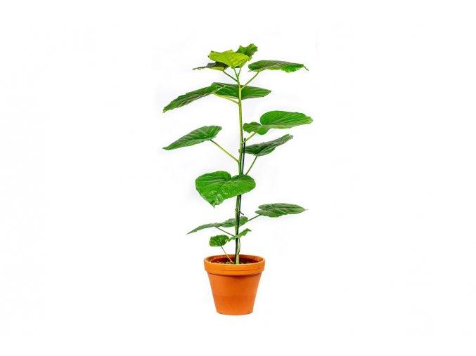 Gardners.cz Ficus Umbellata, průměr 21 cm