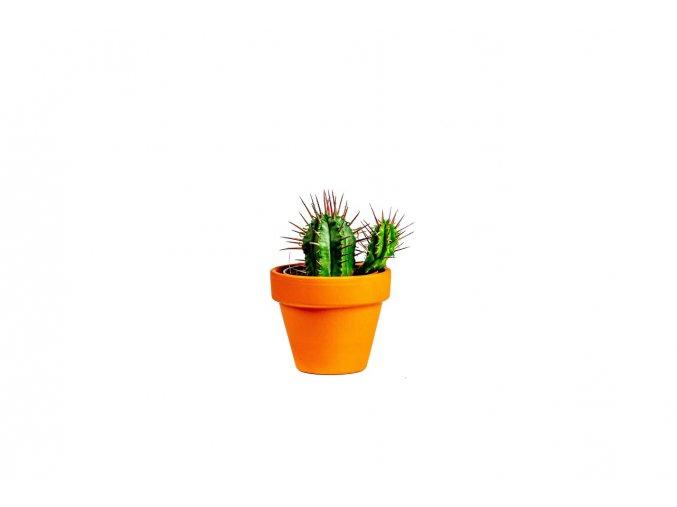 Gardners.cz Euphorbia Enopla, průměr 6 cm