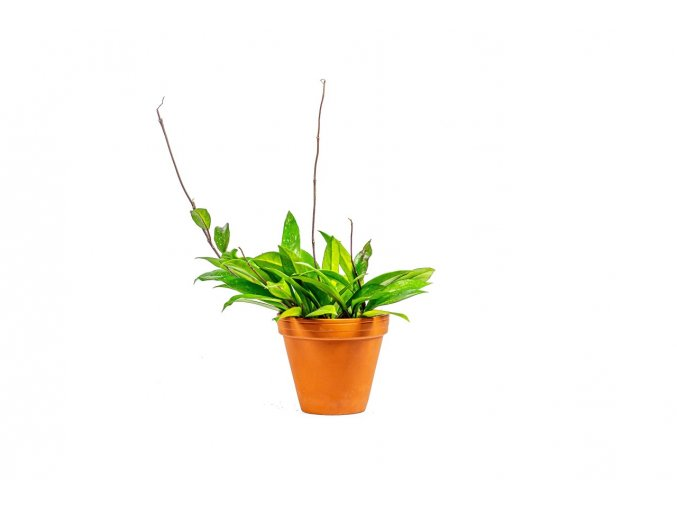 Gardners.cz Hoya carnosa green, průměr 12 cm
