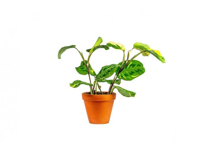 Gardners.cz Maranta leuconeura Kerchoveana variegata, průměr 12 cm