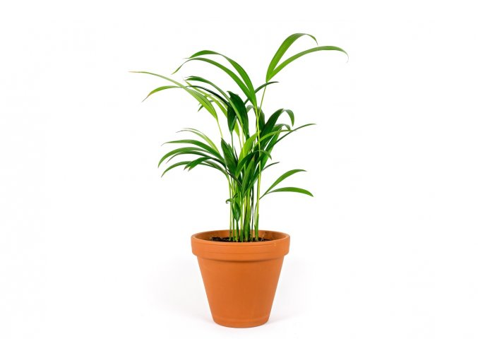 Gardners.cz Chrysolidocarpus