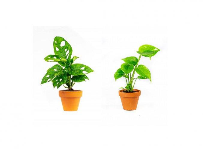 Gardners.cz Set rostlin Baby plants Monstera