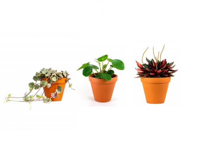 Gardners.cz Set rostlin Baby plants sukulenty