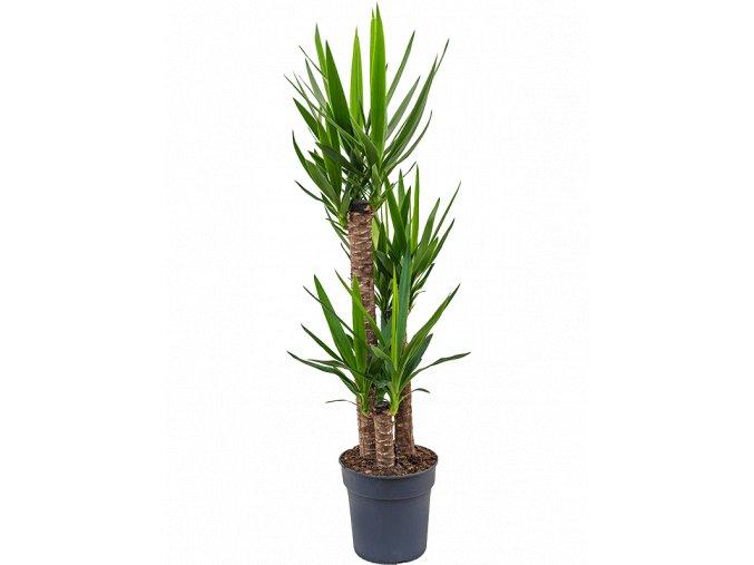 Gardners.cz Yucca, průměr 27 cm