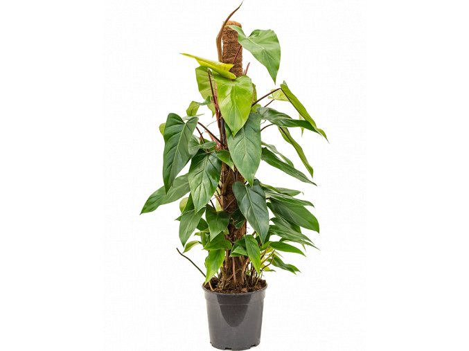 Gardners.cz Philodendron emerald s kokosovou vzpěrou 100 cm, průměr 19 cm