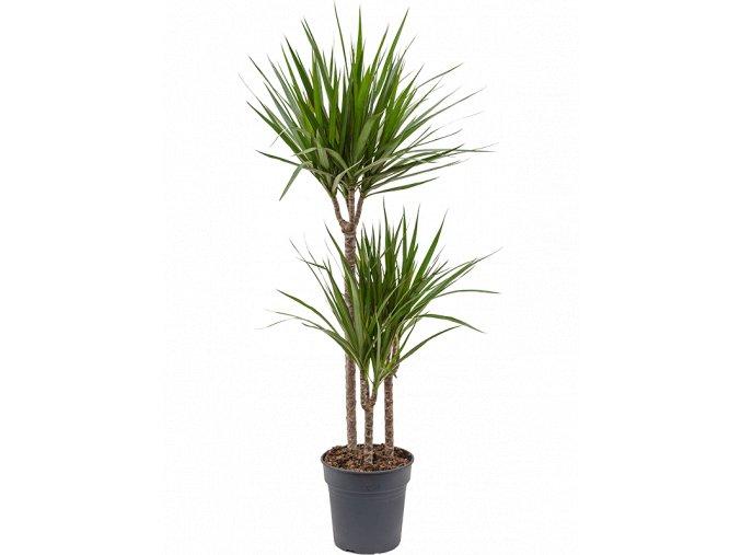 Gardners.cz Dracaena marginata, průměr 30 cm