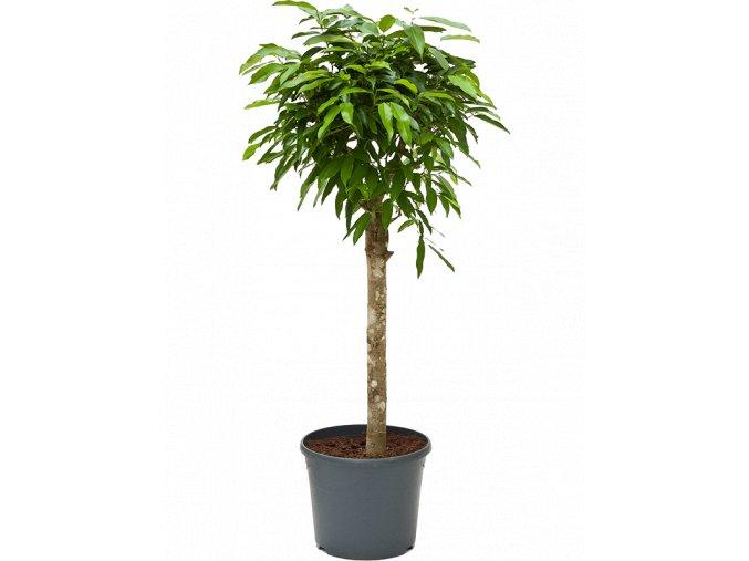 Gardners.cz Ficus amstel king, průměr 30 cm