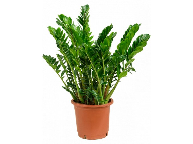 Gardners.cz Zamioculcas zamiifolia, průměr 27 cm