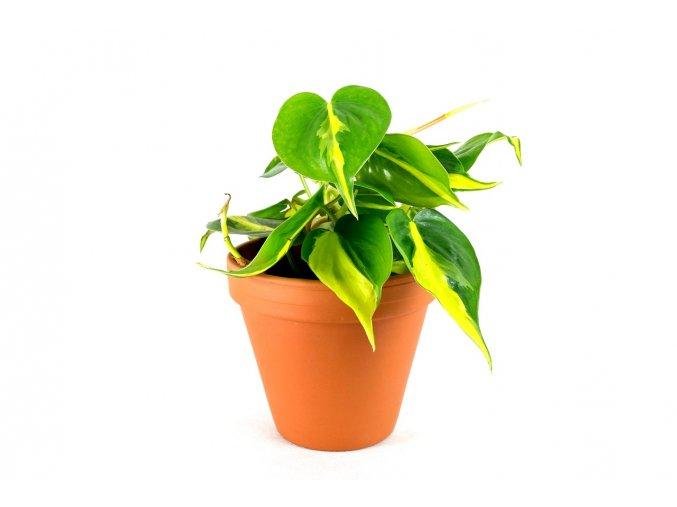 Gardners.cz Philodendron Brasil