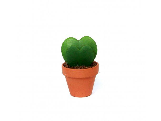 Hoya kerrii 2 listy, průměr 6 cm  Hoja, voskovka