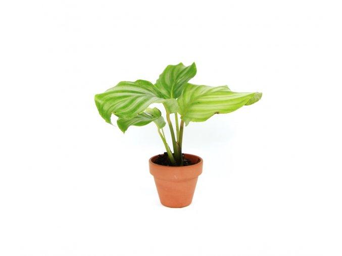 Gardners.cz Calathea Orbifolia, průměr 6 cm
