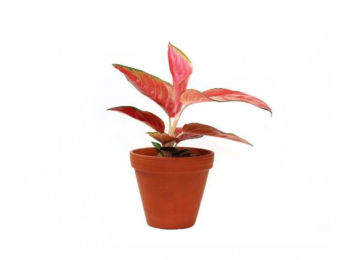 Aglaonema red star, 12 14cm