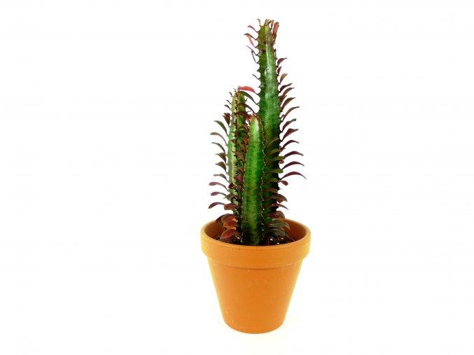 Gardners.cz Euphorbia trigona rubra 2