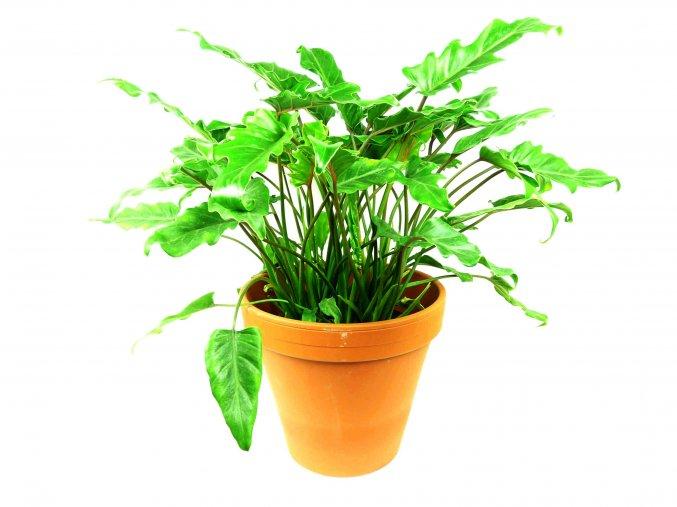 Gardners.cz Philodendron xanadu3