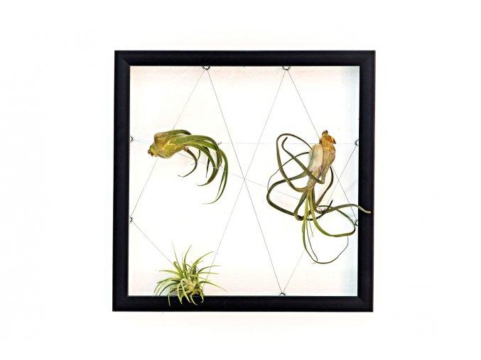 "Obraz z živých rostlin ""Jogín"" 3 tillandsie, 33x33cm, černá"