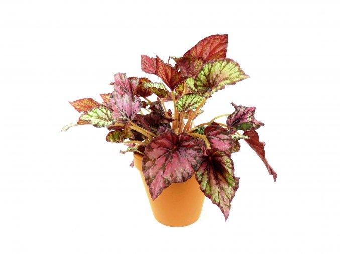 Gardners. cz Begonia red amazing mix