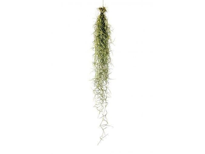 Gardners.cz Tillandsia usneoides