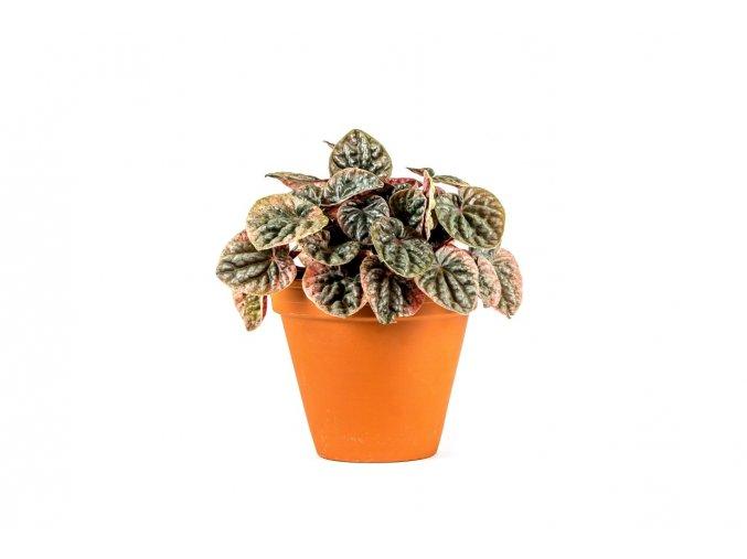 Gardners.cz Peperomia caperata Abricos