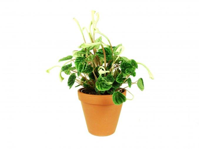 Gardners.cz peperomia lilian