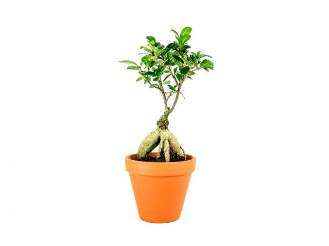 Gardners.cz Ficus microcarpa ginensg 2