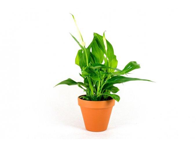 Gardners.cz Spathiphyllum