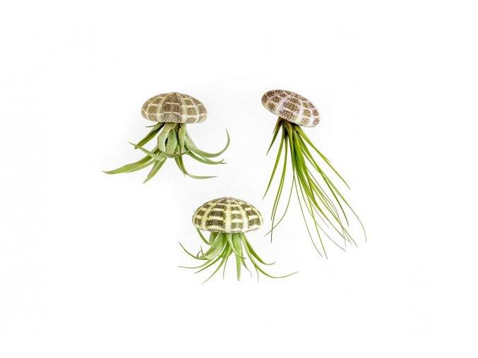 Gardners.cz Medusa ALFONSO s tilandsii 3