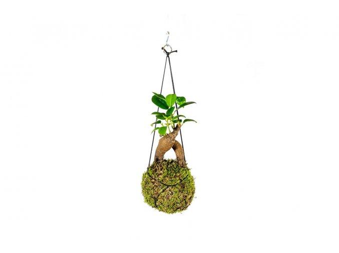 Kokedama Ficus Microcarpa Ginseng, více velikostí