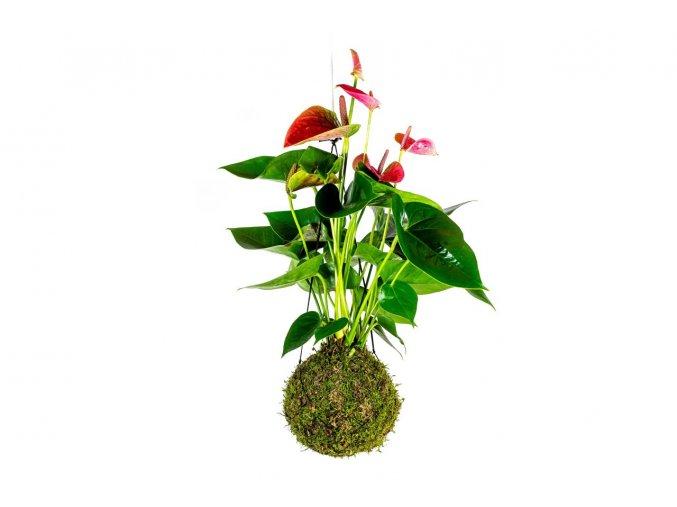 gardners.cz kokedama Anthurium červená (4)