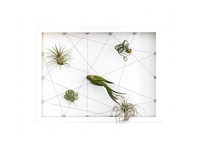 Obraz z živých rostlin Jogín 5 tillandsií, 30x40cm, bílá