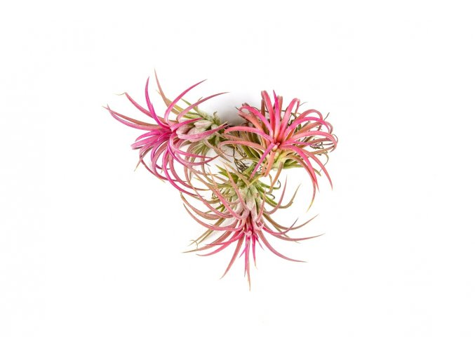 Gardners.cz Tillandsia ionantha red