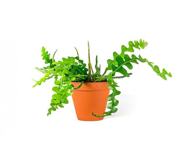 Gardners.cz Epiphyllum anguliger 2