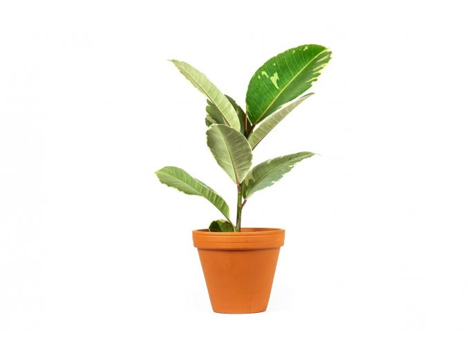 Gardners.cz Ficus elastica Tineke