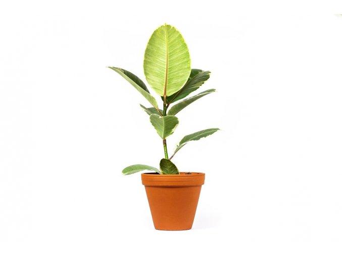 Gardners.cz Ficus elastica Tineke 3