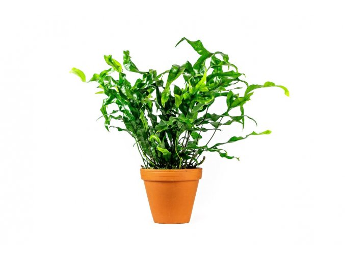 Gardners.cz Microsorum diversifolium