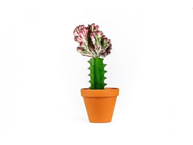 Gardners.cz. Euphorbia lactea Cristata